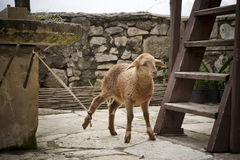 Tied lamb. Lamb on a churchyard tied to a stone table by rope stock photography