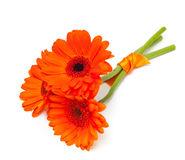 tied three orange gerber flowers isolated on whit Royalty Free Stock Images