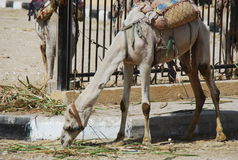 Tied to the fence dromedary eating grass. Stock Photo