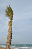 A Palm Tree On A windy Beach royalty free stock image