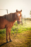 Tied up pony on the morning light Royalty Free Stock Images