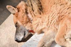 Tief entspannter alter Schäferhund lizenzfreie stockfotos