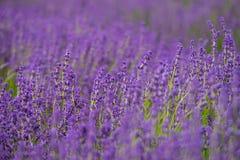 Tiefe des Lavendelfeldes Lizenzfreies Stockbild