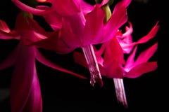 Tiefer Fokus von roten Blumen und von Blättern lokalisiert auf einem schwarzen Hintergrund Blumendecembrist Makroblume Schlumberg Stockbilder