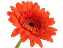Tiefer orange Gerber Gänseblümchen-Fokus in der Mitte stockbild