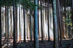 Tiefer Wald mit Sonnenlichtern in der Dämmerung stockfotos