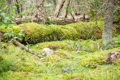 Tiefer Waldboden, Boden, alter Baumklotz bedeckt mit Moos Stockbilder