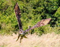Tiefflug Eagle Owl Stockbilder