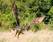 Tiefflug Eagle Owl Lizenzfreie Stockbilder