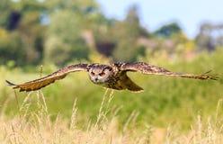 Tiefflug Eagle Owl Lizenzfreie Stockfotografie