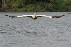 Tiefflug-Pelikan (ankommend) Stockfoto
