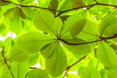 Tiefgrün vom tropischen Mandelbaum Lizenzfreies Stockbild