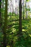 Tiefgrüne Bäume im Wald Stockbild