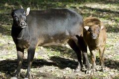 Tiefland anoa (Bubalus depressicornis) Lizenzfreies Stockfoto