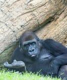 Tiefland-Gorilla Stockfotos