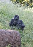 Tiefland-Gorilla, der Kamera betrachtet Stockfoto