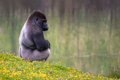 Tiefland Silverback Gorilla Lizenzfreies Stockfoto