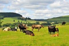 Tiefland-Vieh, Moffat, Schottland Stockfotos