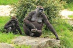 Tieflandgorillas Stockfoto