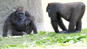 Tieflandgorillas im Zoo Lizenzfreies Stockbild