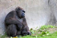 Tieflandgorillaschlafen Stockfotografie