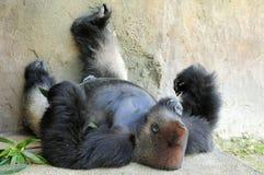 Silverbackgorilla Lizenzfreies Stockbild