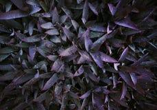 Tiefpurpurne Blätter Muster und Wassertropfen auf Blättern stockfoto
