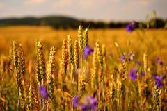 Tiempo de cosecha Fotografía de archivo libre de regalías