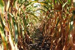 Tiempo de cosecha de la granja del maíz Imagen de archivo libre de regalías
