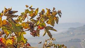 Tiempo de cosecha de la uva Fotos de archivo libres de regalías