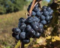 Tiempo de cosecha de la uva Imágenes de archivo libres de regalías
