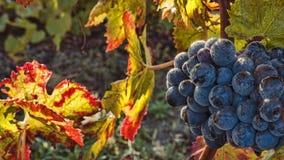 Tiempo de cosecha de la uva Foto de archivo libre de regalías