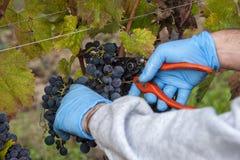 Tiempo de cosecha de la uva Fotografía de archivo libre de regalías
