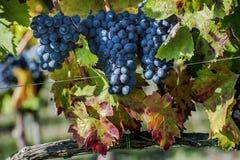 Tiempo de cosecha de la uva Imagen de archivo libre de regalías