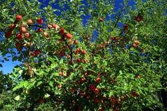 Tiempo de cosecha de las manzanas imágenes de archivo libres de regalías
