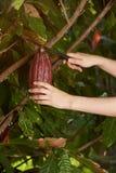 Tiempo de cosecha del cacao fotografía de archivo