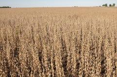 Tiempo de cosecha de la haba de la soja Fotografía de archivo