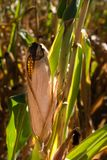 Tiempo de cosecha de maíz Imágenes de archivo libres de regalías