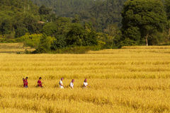 Tiempo de cosecha rural del arroz de Tailandia Imagen de archivo libre de regalías