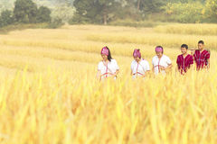 Tiempo de cosecha rural del arroz de Tailandia Fotos de archivo