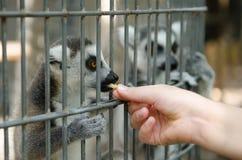 Tiempo de la alimentación del Lemur del Ring-tail Fotos de archivo