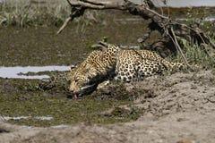 Tiempo de la bebida del leopardo Fotos de archivo