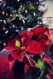 Tiempo de la Navidad en casa, poinsetia en la tabla, árbol de navidad Foto de archivo