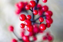 Bayas rojas en su hábitat natural. Foto de archivo libre de regalías