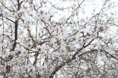 Tiempo de primavera floreciente del árbol del flor de la flor blanca de la almendra Imagen de archivo libre de regalías