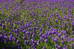 Tiempo de primavera para Estambul abril de 2019, campo de flores púrpura foto de archivo