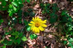 Tiempo de primavera para Turquía, abril de 2019, flor amarilla, bosque de Belgrad, día brillante foto de archivo libre de regalías