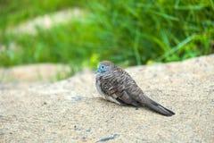 Tiempo de resto del pájaro de la paloma de la cebra foto de archivo libre de regalías