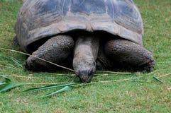 Tiempo del almuerzo con la tortuga Fotos de archivo