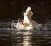 Tiempo del baño de los cisnes Imagenes de archivo